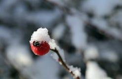 Το χιόνι στο κόκκινο ισχίο ενός σκυλιού αυξήθηκε Στοκ εικόνες με δικαίωμα ελεύθερης χρήσης