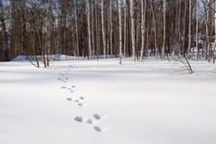 το χιόνι τυπωμένων υλών ποδιών λαγών πατωμάτων επισημαίνει το χειμώνα Στοκ εικόνα με δικαίωμα ελεύθερης χρήσης