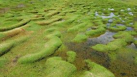 Το χλοώδες έδαφος όπου llamas βόσκουν μέσα Laguna Negra, Βολιβία στοκ φωτογραφίες