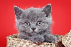 Το χνουδωτό γκρίζο γατάκι Βρετανοί κάθεται Στοκ Εικόνες