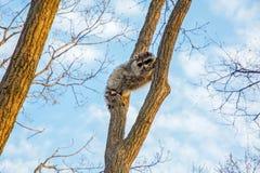 Το χνουδωτό ρακούν κάθεται υψηλό επάνω σε ένα δέντρο και μια προσοχή Στοκ Φωτογραφίες