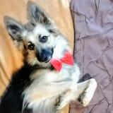 Το χοιρινό σκυλί μου στοκ φωτογραφία