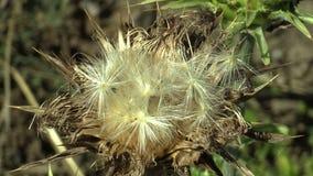 Το χορτάρι θεραπείας marianum Silybum κάρδων γάλακτος εγκαταστάσεων marianus Cardus, σε μια ξηρά επάνθιση με τα φρούτα, χρησιμοπο φιλμ μικρού μήκους