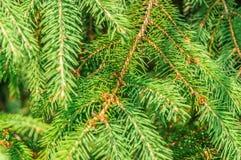 Το χριστουγεννιάτικο δέντρο διακλαδίζεται υπόβαθρο Στοκ Εικόνες