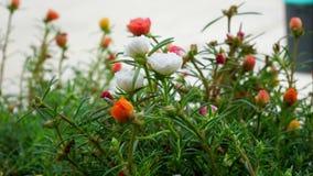 Το χρονικό σφάλμα των λουλουδιών είναι ανθίζοντας απόθεμα βίντεο