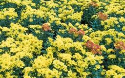 Το χρυσάνθεμο λουλουδιών Στοκ Φωτογραφία