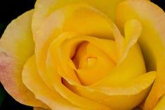 Το χρυσό μετάλλιο αυξήθηκε κινηματογράφηση σε πρώτο πλάνο λουλουδιών Στοκ Φωτογραφία