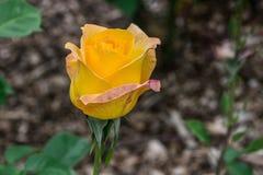 Το χρυσό μετάλλιο αυξήθηκε οφθαλμός λουλουδιών Στοκ εικόνες με δικαίωμα ελεύθερης χρήσης