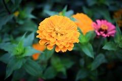 Το χρυσό λουλούδι Στοκ Εικόνες