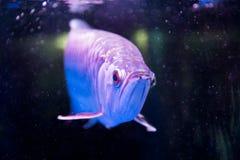 Το χρυσό ψάρι arowana θεωρείται για να φέρει την τύχη μεταξύ Ασιατών Στοκ Φωτογραφίες