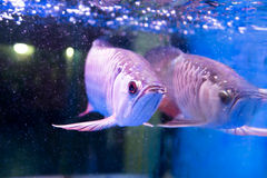 Το χρυσό ψάρι arowana θεωρείται για να φέρει την τύχη μεταξύ Ασιατών Στοκ φωτογραφία με δικαίωμα ελεύθερης χρήσης