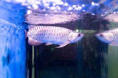 Το χρυσό ψάρι arowana θεωρείται για να φέρει την τύχη μεταξύ Ασιατών Στοκ φωτογραφίες με δικαίωμα ελεύθερης χρήσης