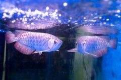 Το χρυσό ψάρι arowana θεωρείται για να φέρει την τύχη μεταξύ Ασιατών Στοκ Φωτογραφία