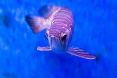 Το χρυσό ψάρι arowana θεωρείται για να φέρει την τύχη μεταξύ Ασιατών Στοκ εικόνα με δικαίωμα ελεύθερης χρήσης