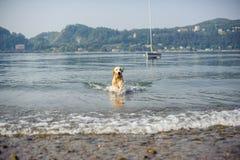 Το χρυσό retriever σκυλί λούζει στη λίμνη Maggiore, Angera, Λομβαρδία, Στοκ Εικόνα