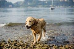 Το χρυσό retriever σκυλί λούζει στη λίμνη Maggiore, Angera, Λομβαρδία, Στοκ Εικόνες