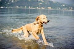Το χρυσό retriever σκυλί λούζει στη λίμνη Maggiore, Angera, Λομβαρδία, Στοκ φωτογραφία με δικαίωμα ελεύθερης χρήσης