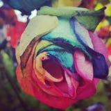 Το χρώμα αυξήθηκε Στοκ Εικόνες