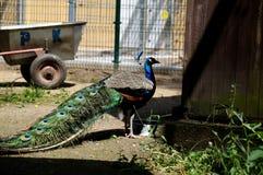 Το χρώμα peacock Στοκ φωτογραφία με δικαίωμα ελεύθερης χρήσης