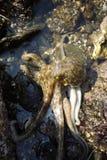 Το χταπόδι κάνει μια εισβολή έξω επάνω στην ακτή με άμπωτη Στοκ Εικόνες