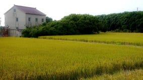 Το χωριό της Κίνας, ασιατικός χρυσός ορυζώνας ρυζιού, περιμένει τη συγκομιδή απόθεμα βίντεο