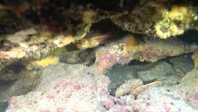 Το ψάρι αναπαράγει τα αυγά του απόθεμα βίντεο