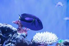 Το ψάρι γεύσης παλετών, hepatus Paracanthurus, καλείται επίσης Roy Στοκ φωτογραφία με δικαίωμα ελεύθερης χρήσης