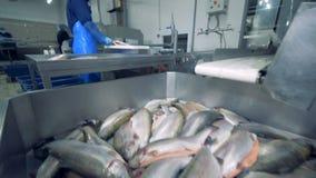 Το ψάρι εφοδιάζεται στο εμπορευματοκιβώτιο και μερικοί απ' αυτούς παίρνει κομμένο απόθεμα βίντεο