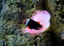 Το ψάρι κλόουν που κολυμπά συγκεντρώνει Στοκ φωτογραφίες με δικαίωμα ελεύθερης χρήσης