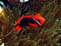 το ψάρι κλόουν anemone προστατ&epsilon Στοκ φωτογραφία με δικαίωμα ελεύθερης χρήσης
