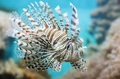 Το ψάρι κολυμπά στο ενυδρείο, με ραβδώσεις φτερωτό Στοκ Εικόνες