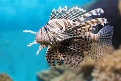 Το ψάρι κολυμπά στο ενυδρείο, με ραβδώσεις φτερωτό Στοκ Εικόνα