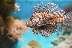 Το ψάρι κολυμπά στο ενυδρείο, με ραβδώσεις φτερωτό Στοκ φωτογραφία με δικαίωμα ελεύθερης χρήσης