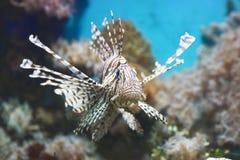 Το ψάρι κολυμπά στο ενυδρείο, με ραβδώσεις φτερωτό Στοκ Φωτογραφία