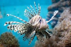 Το ψάρι κολυμπά στο ενυδρείο, με ραβδώσεις φτερωτό Στοκ Φωτογραφίες