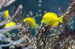 Το ψάρι κολυμπά στο νερό στο ενυδρείο Στοκ εικόνες με δικαίωμα ελεύθερης χρήσης
