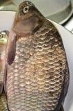 Το ψάρι κυπρίνων είναι ένα μεγάλο καφετί ψάρι με μια μεγάλη κλίμακα, ένα μεγάλο κεφάλι με ένα εισελκόμενο στόμα και μεγάλα στρογγ Στοκ Φωτογραφία