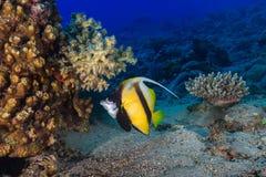 Το ψάρι πεταλούδων κολυμπά μεταξύ των κοραλλιών υποβρύχιο με ραβδώσεις volitans Ερυθρών Θαλασσών pterois φωτογραφιών ψαριών Στοκ Φωτογραφία
