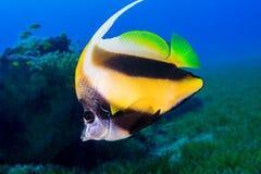 Το ψάρι πεταλούδων κολυμπά μεταξύ των κοραλλιών υποβρύχιο με ραβδώσεις volitans Ερυθρών Θαλασσών pterois φωτογραφιών ψαριών Στοκ Φωτογραφίες