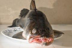 Το ψάρι zander με το οδοντωτό στομάχι είναι σε μια πιατέλα Στοκ Εικόνες