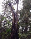 Το ψηλό mossy δέντρο Στοκ εικόνα με δικαίωμα ελεύθερης χρήσης