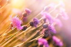 Το όμορφο άνθισμα ανθίζει την άνοιξη - ανθίζοντας κάρδος, burdock Στοκ Εικόνα