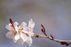 Το όμορφο άσπρο βερίκοκο, κεράσι ανθίζει την άνοιξη Στοκ Εικόνες