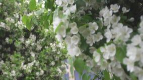 Το όμορφο άσπρο μήλο ανθίζει στο δέντρο μηλιάς ενάντια στο σύγχρονο κτήριο γυαλιού και τον γκρίζο ουρανό r o φιλμ μικρού μήκους