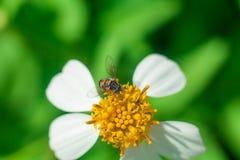 Το όμορφο άσπρο πύρεθρο ανθίζει τη μέλισσα Στοκ Εικόνες