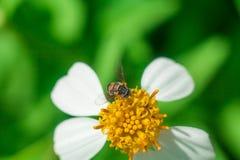 Το όμορφο άσπρο πύρεθρο ανθίζει τη μέλισσα Στοκ φωτογραφίες με δικαίωμα ελεύθερης χρήσης