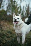 Το όμορφο άσπρο σιβηρικό γεροδεμένο σκυλί â€ ‹â€ ‹κοιτάζει επίμονα και χαμογελώντας Στοκ Φωτογραφία