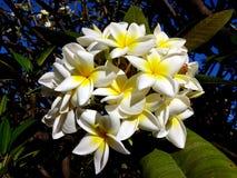 Το όμορφο άσπρο Plumeria ανθίζει κοντά επάνω το υπόβαθρο στοκ εικόνα με δικαίωμα ελεύθερης χρήσης