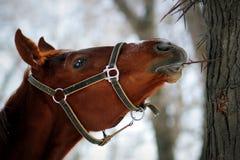 Το άλογο τρώει το αγκάθι Στοκ Φωτογραφίες