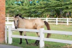 Το όμορφο, ήρεμο, άσπρο άλογο περιμένει στη μάντρα Στοκ Εικόνα